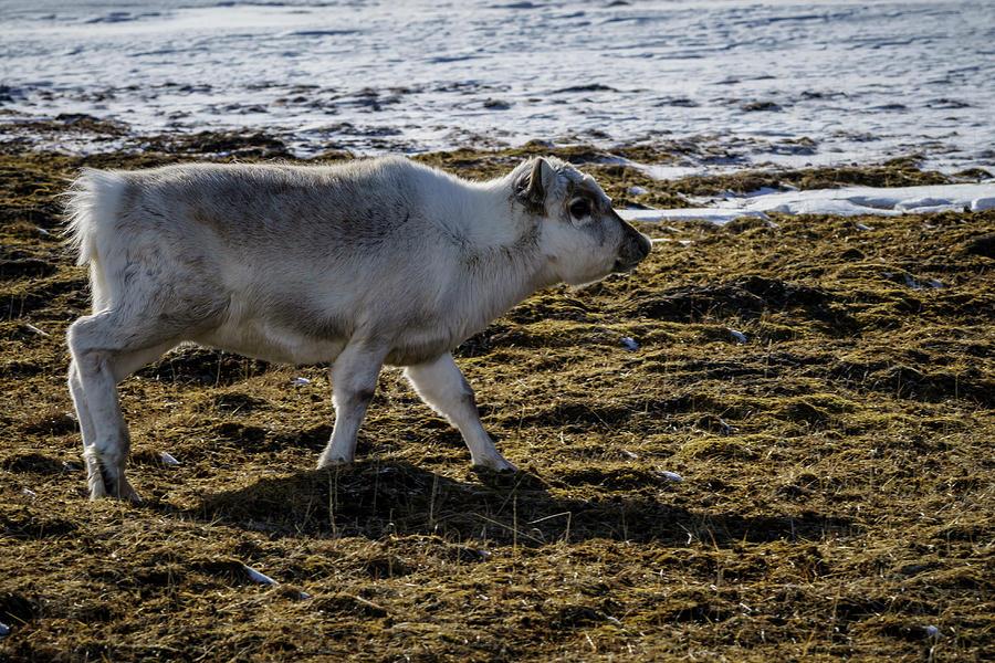 Animal Photograph - Svalbard Reindeer by Kai Mueller