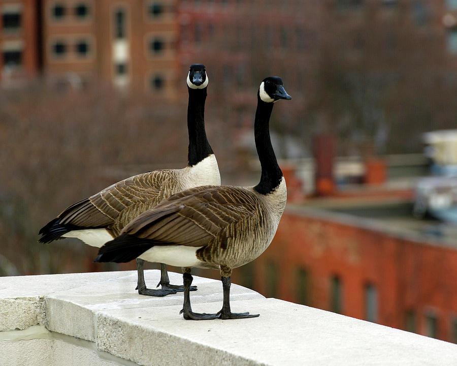 Urban Geese Photograph