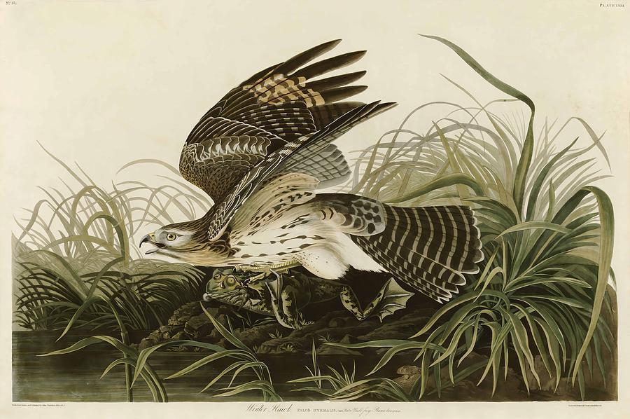 John James Audubon Painting - Winter Hawk  by John James Audubon