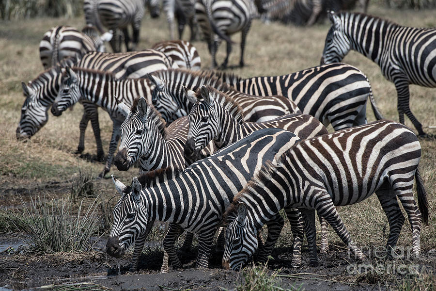 Zebra Herd at Ngorongoro mudhole by Steve Somerville