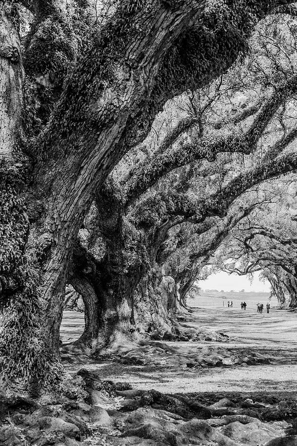 400-Year-Old Southern Oak Trees by Keith Dotson