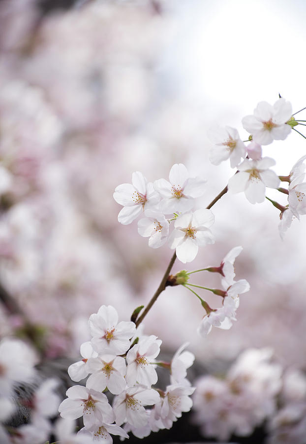 Cherry Blossoms Photograph by Ooyoo