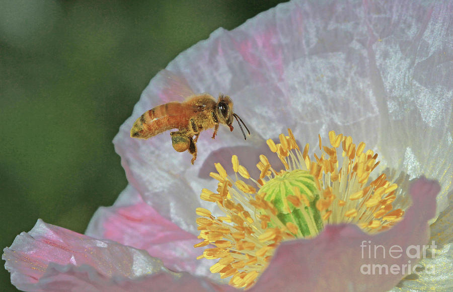 Honeybee Photograph - Honeybee by Gary Wing