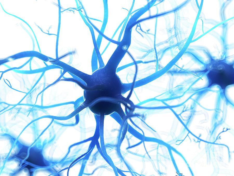 3d Photograph - Illustration Of A Human Nerve Cell by Sebastian Kaulitzki/science Photo Library