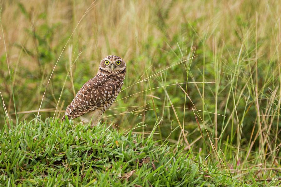 Burrowing Owl Hato Barley Tauramena Casanare Colombia by Adam Rainoff