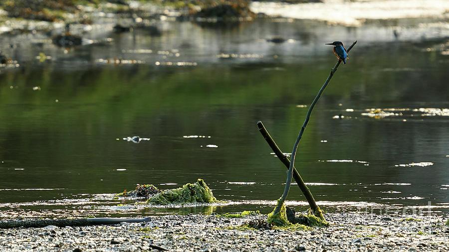 Common Kingfisher Alcedo Atthis O Seixo by Pablo Avanzini
