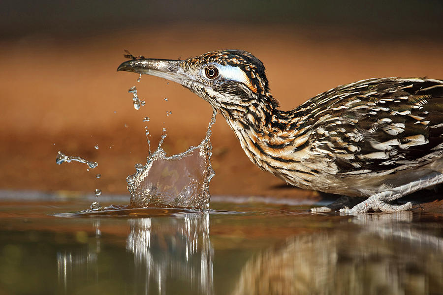 Water's Edge Photograph - Greater Roadrunner Geococcyx by Danita Delimont