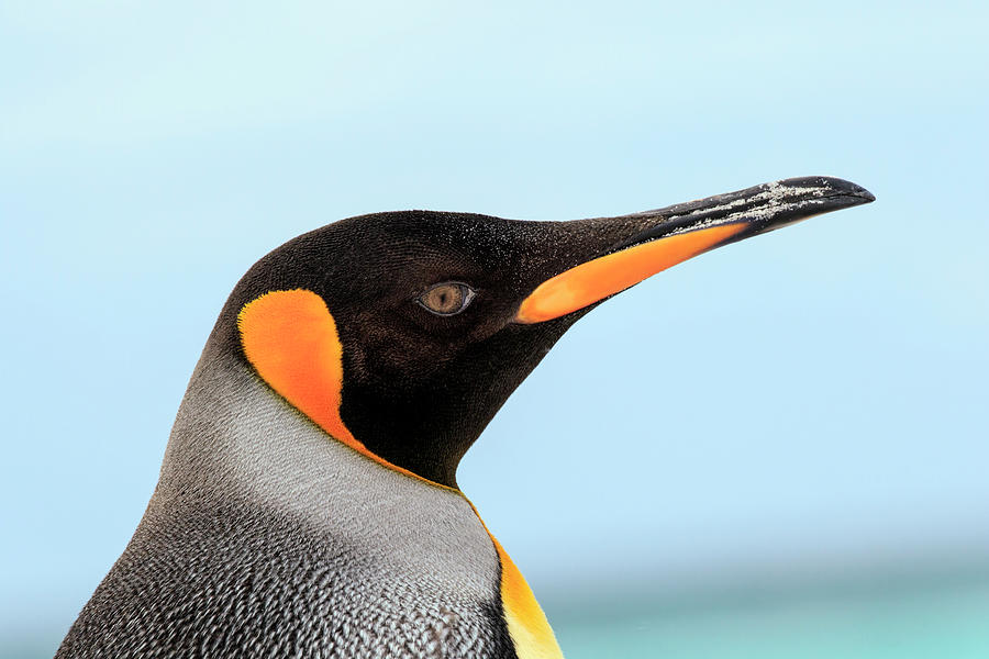 Adam Jones Photograph - King Penguin, Volunteer Point, East by Adam Jones