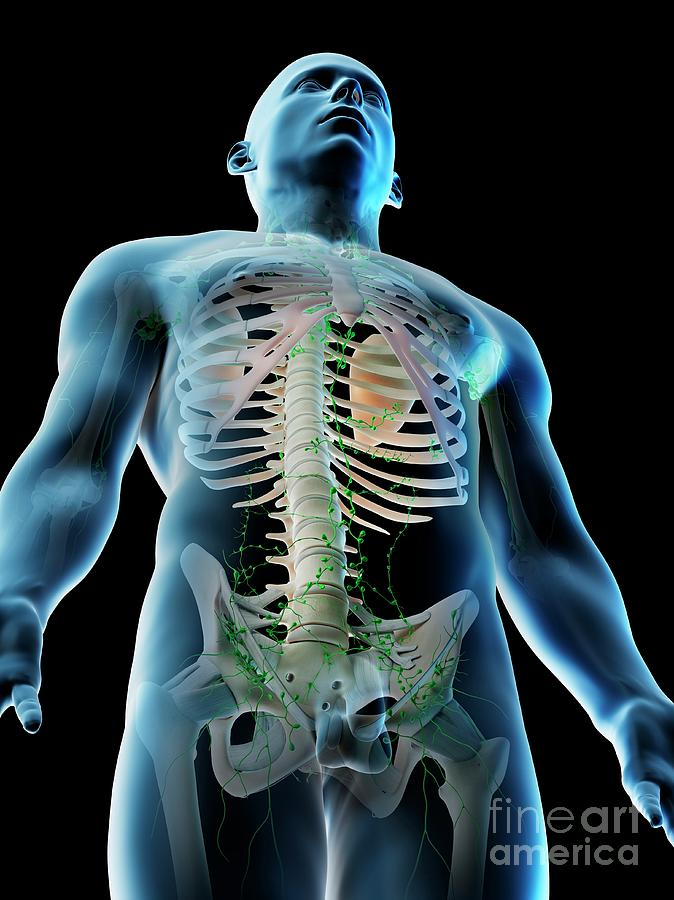 3d Photograph - Lymphatic System Of The Upper Body by Sebastian Kaulitzki/science Photo Library
