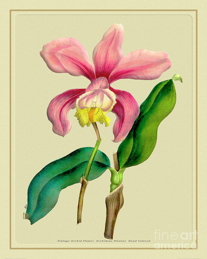 Orchid Flower Orchideae Plantae Antique Mixed Media