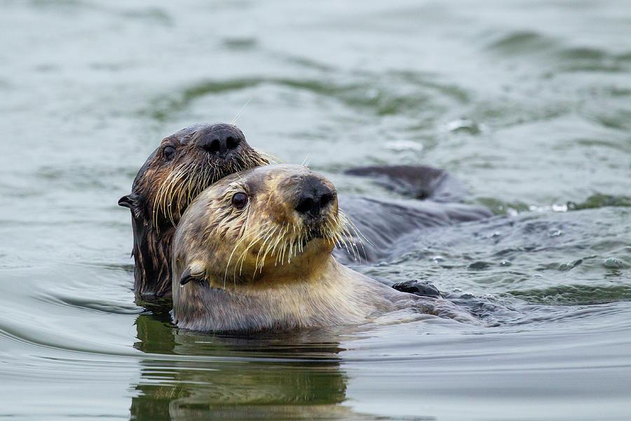 Sea Otter Mother And Pup, Elkhorn Slough Photograph by Sebastian Kennerknecht