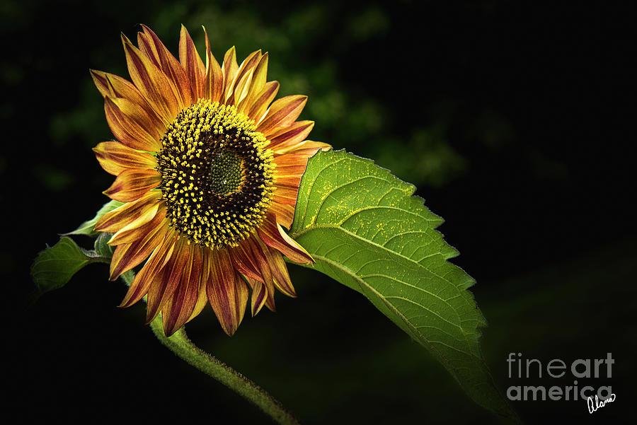 Sunflower by Alana Ranney