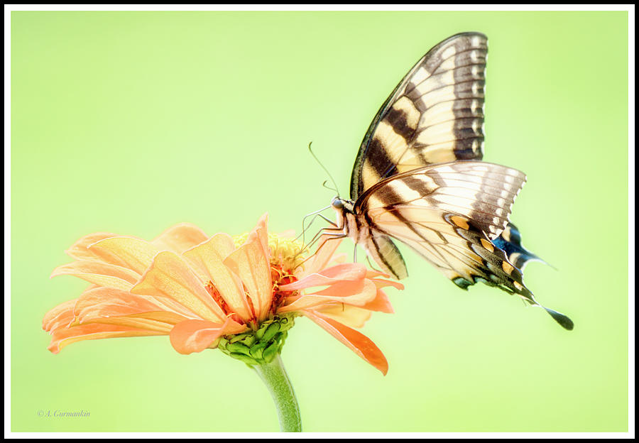 Tiger Swallowtail Butterfly, Zinnia Flower by A Gurmankin