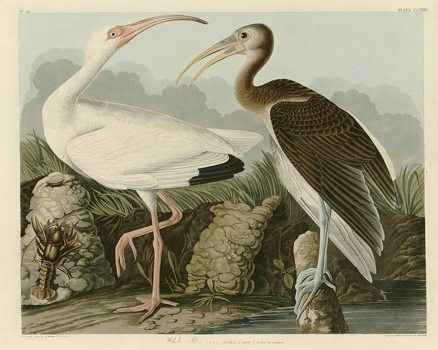 John James Audubon Painting - White Ibis  by John James Audubon