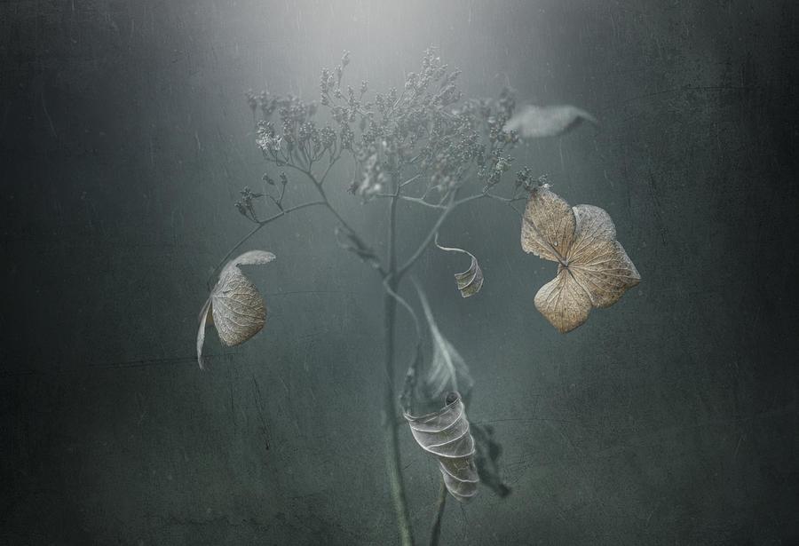 Conceptual Photograph - Withe Hydrangea by Takashi Suzuki