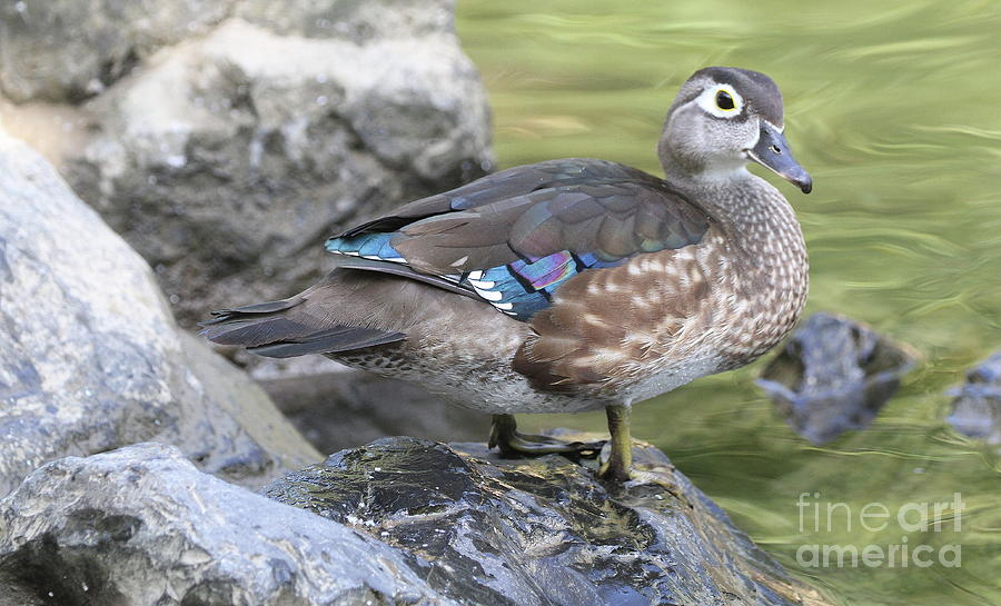 Female Wood Duck by Ken Keener
