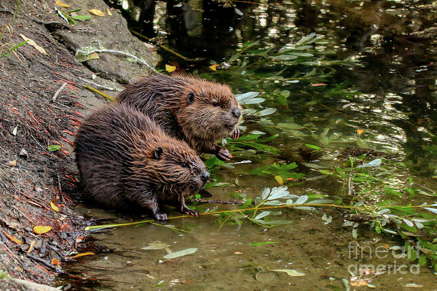 Amateur beaver photos — photo 10