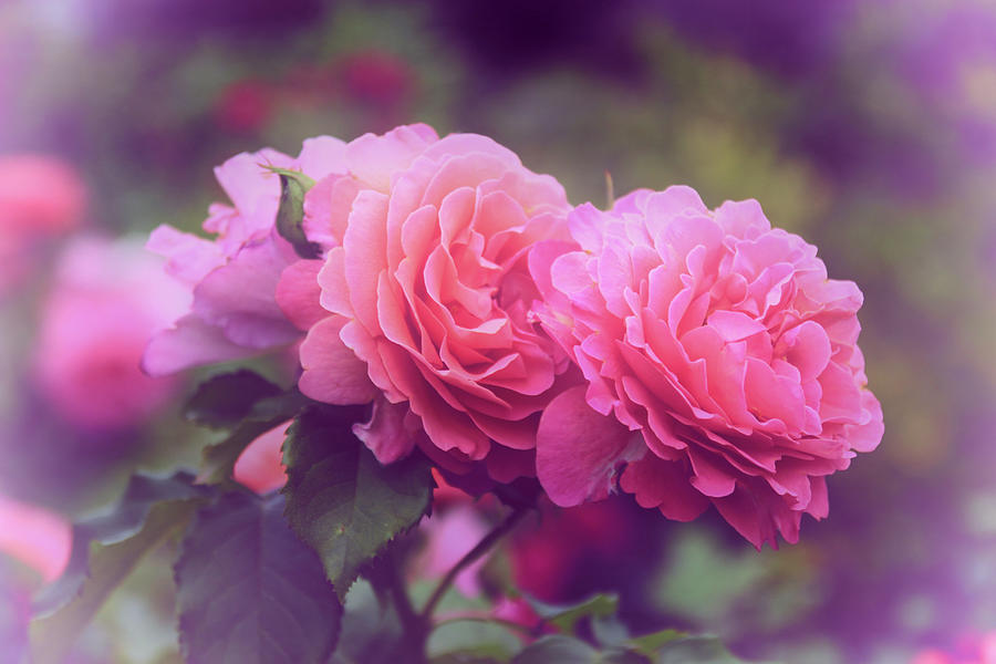 Roses Photograph - Rose Echo by Jessica Jenney