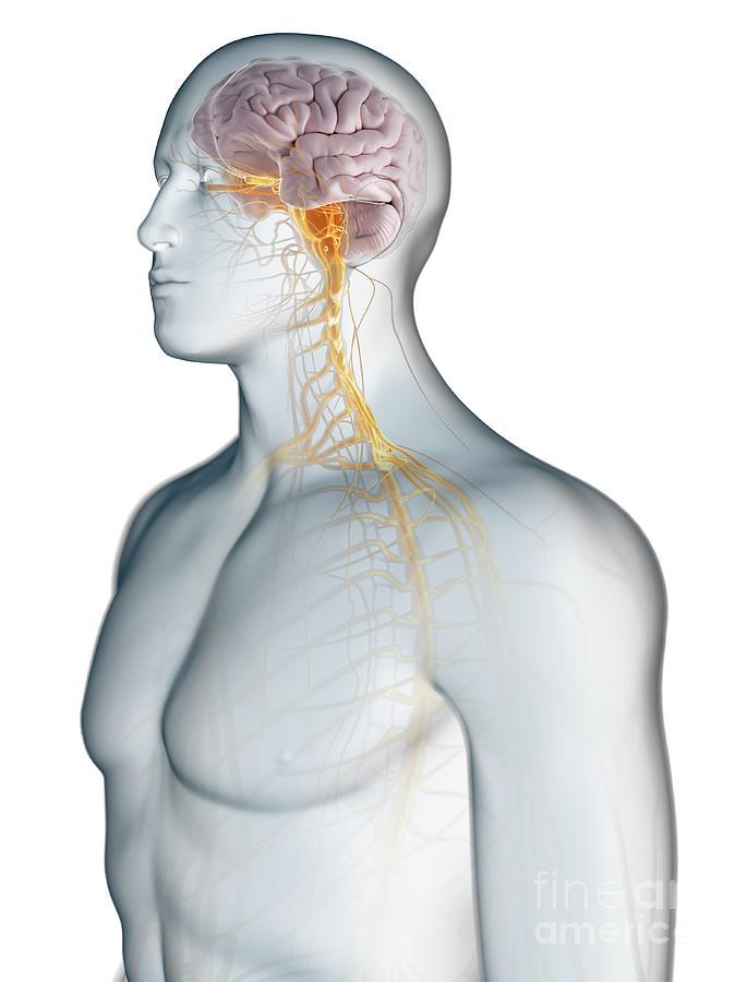 3d Photograph - Nervous System 59 by Sebastian Kaulitzki/science Photo Library