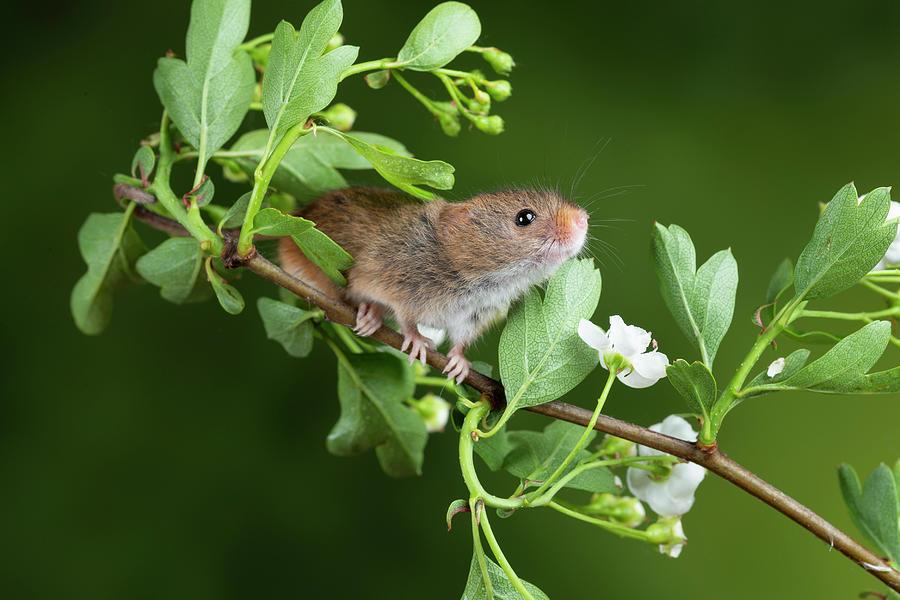 Adorable Cute Harvest Mice Micromys Minutus On White Flower Foli Photograph