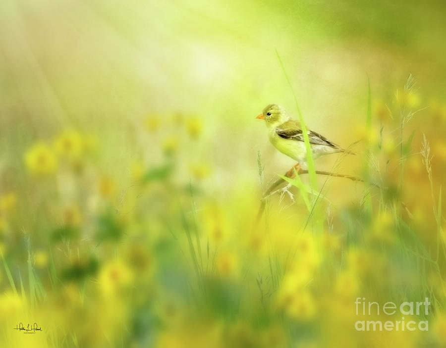American Goldfinch Photograph by Heather Hubbard
