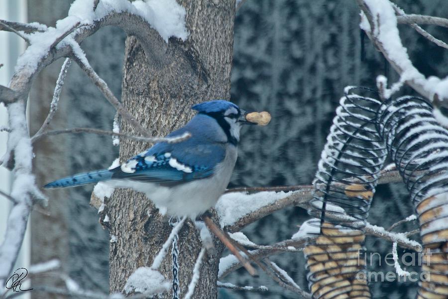 Blue Jay by Ann E Robson