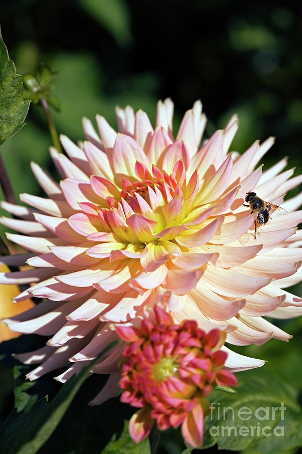 Dahlia Photograph - Dahlia Flowers by Dr Keith Wheeler/science Photo Library