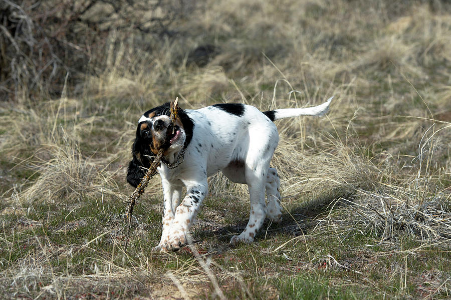 Cute Photograph - English Setter Puppy, 14 Weeks by William Mullins