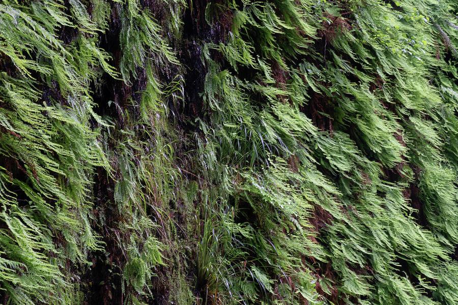 6 Fern Grove Redwoods, N. California by Phyllis Spoor