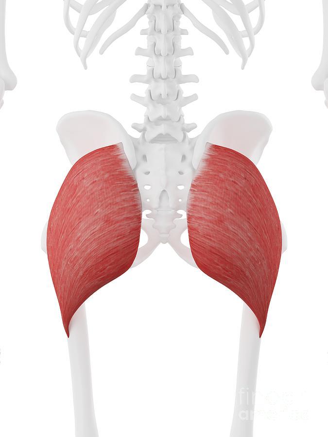 3d Photograph - Gluteus Maximus Muscle by Sebastian Kaulitzki/science Photo Library