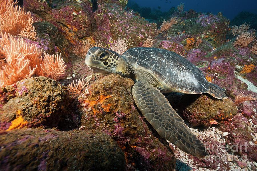 Green Sea Turtle Photograph - Green Sea Turtle by Reinhard Dirscherl/science Photo Library