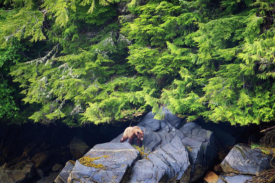 Grizzly Bear Ursus Arctos Horribilis Photograph by Richard Wear / Design Pics
