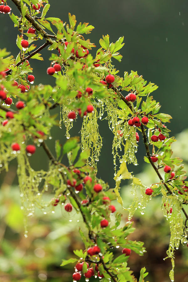 Berry Photograph - Hawthorn Tree St Stephens Heritage by Stuart Westmorland