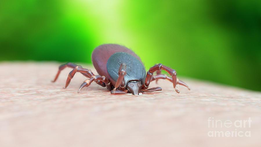 Bite Photograph - Illustration Of A Tick Biting by Sebastian Kaulitzki/science Photo Library