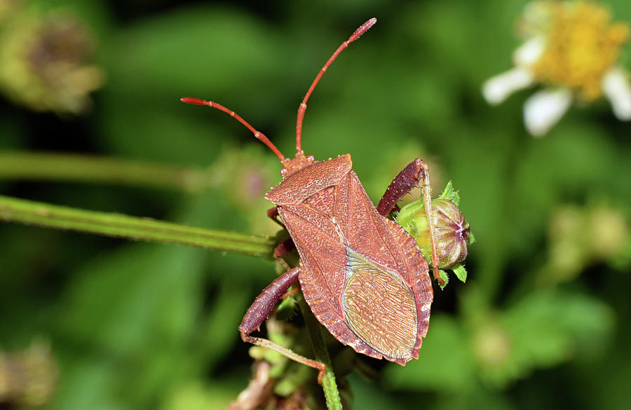 Leaf Footed Bug by Larah McElroy