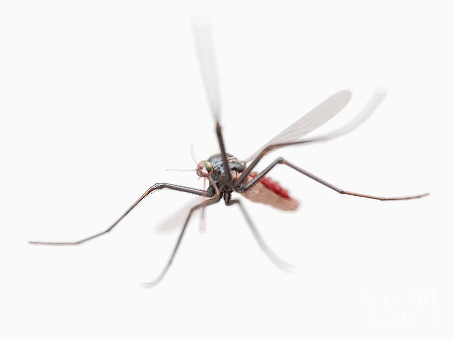 Fever Photograph - Mosquito 6 by Sebastian Kaulitzki/science Photo Library