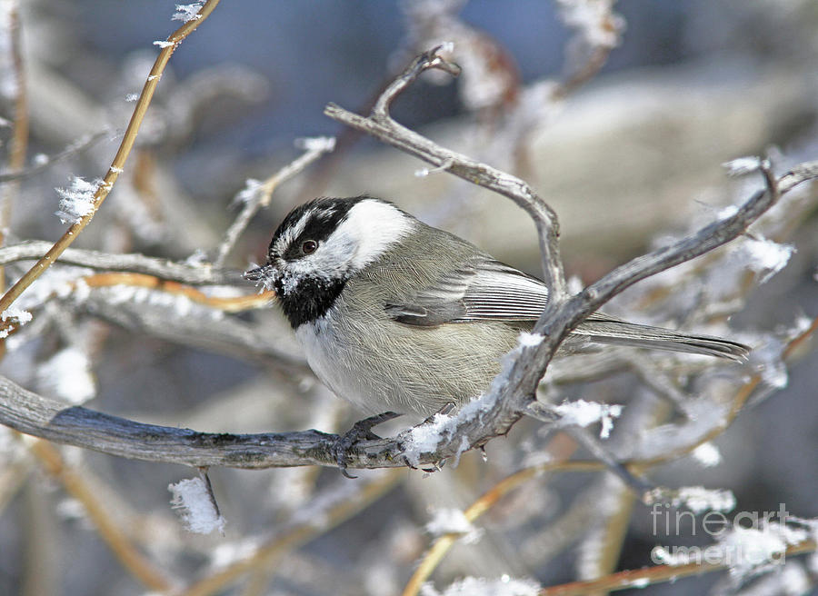 Mountain Chickadee Photograph - Mountain Chickadee by Gary Wing