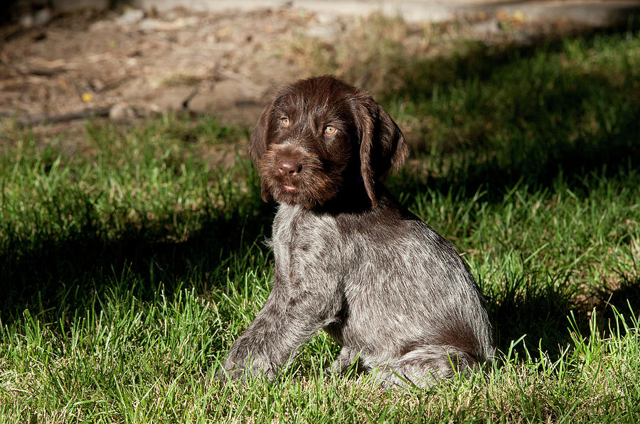 Dog Photograph - Nine-week-old Drahthaar Puppy by William Mullins