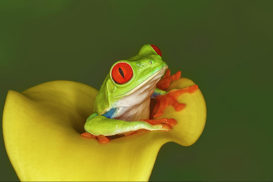 Adam Jones Photograph - Red-eyed Tree Frog by Adam Jones