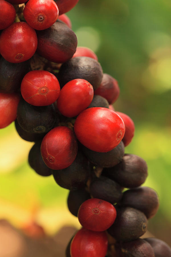 Ripe Coffee Cherries Photograph by Dustypixel