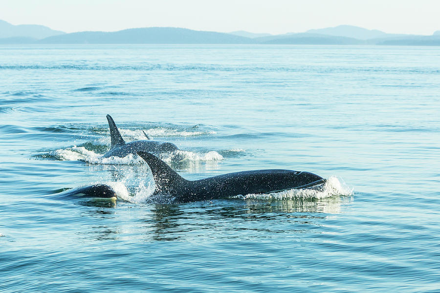Blue Photograph - Surfacing Resident Orca Whales by Stuart Westmorland