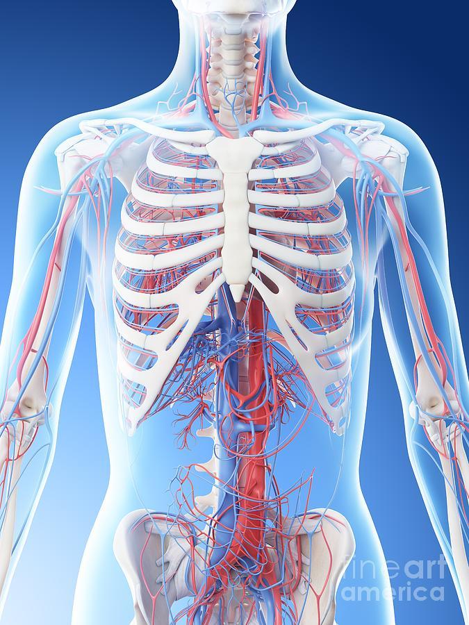 3d Photograph - Vascular System Of The Upper Body by Sebastian Kaulitzki/science Photo Library