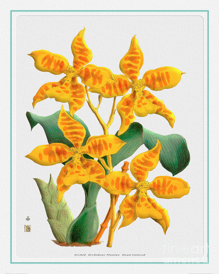 Vintage Painting - Orchid Flower Orchideae Plantae Drawing by Baptiste Posters