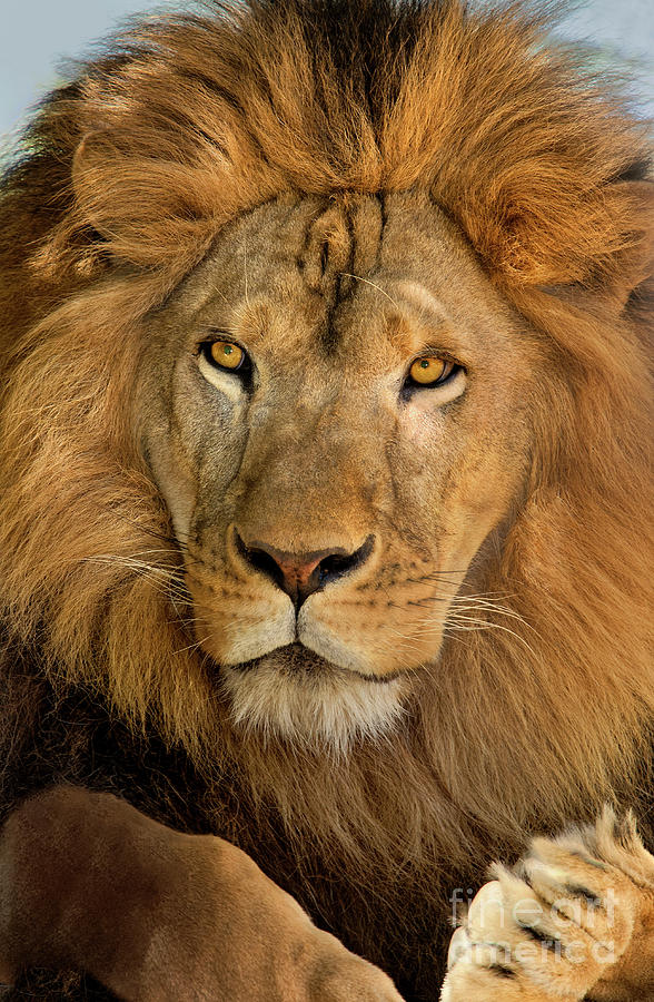656250006 african lion panthera leo wildlife rescue by Dave Welling