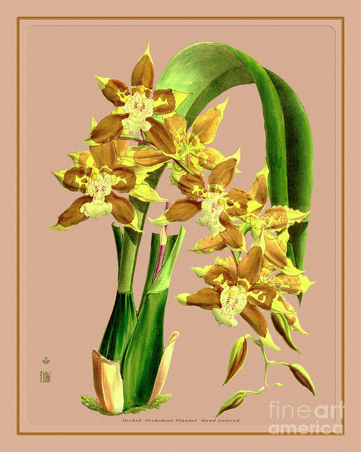 Orchid Flower Orchideae Plantae Drawing Painting