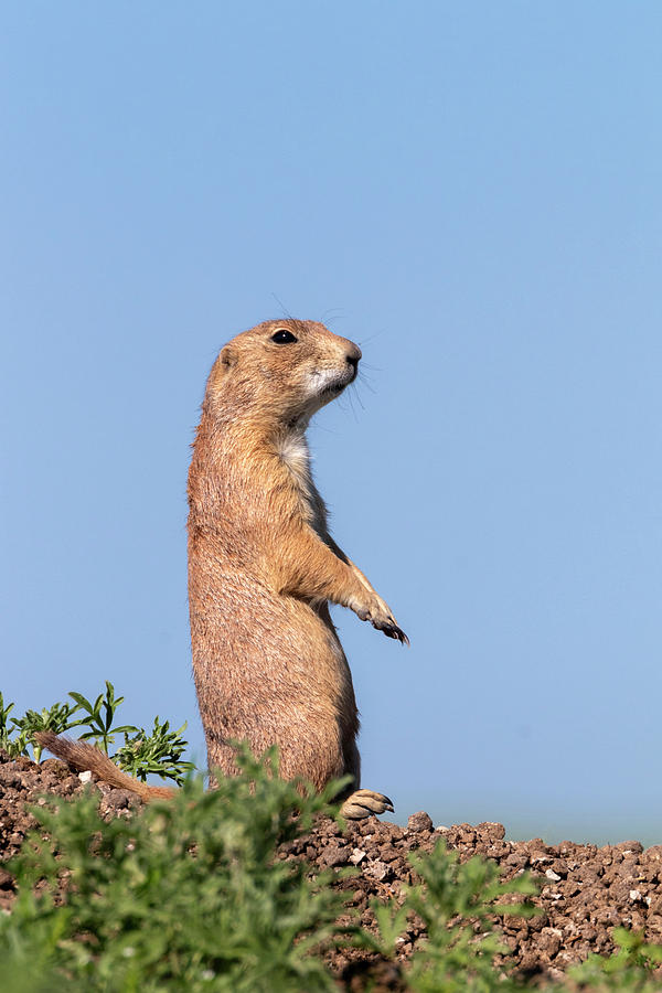 Black-tailed Prairie Dog by Ivan Kuzmin
