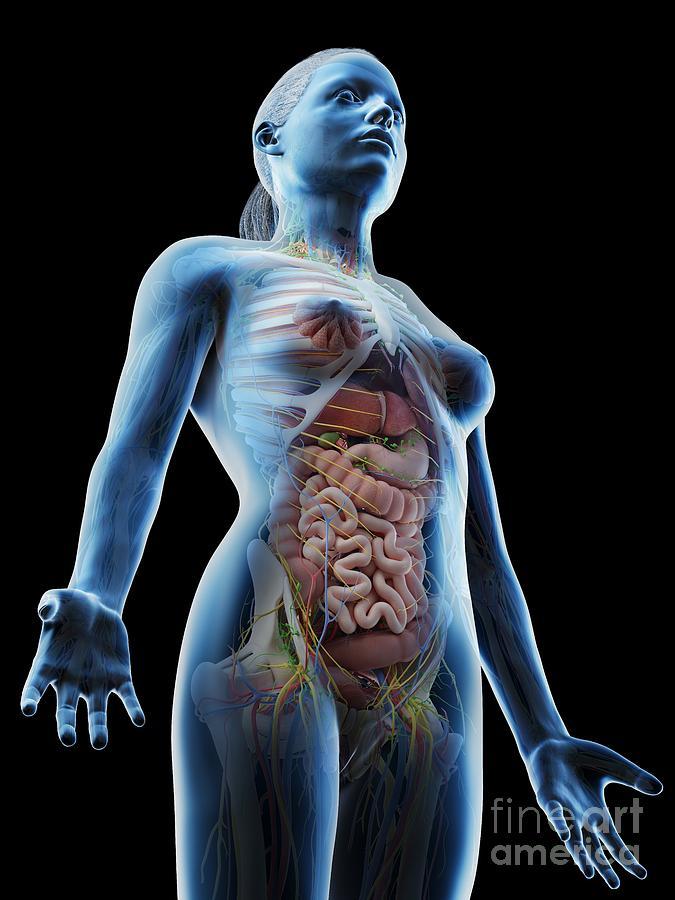 3d Photograph - Female Upper Body Anatomy 7 by Sebastian Kaulitzki/science Photo Library