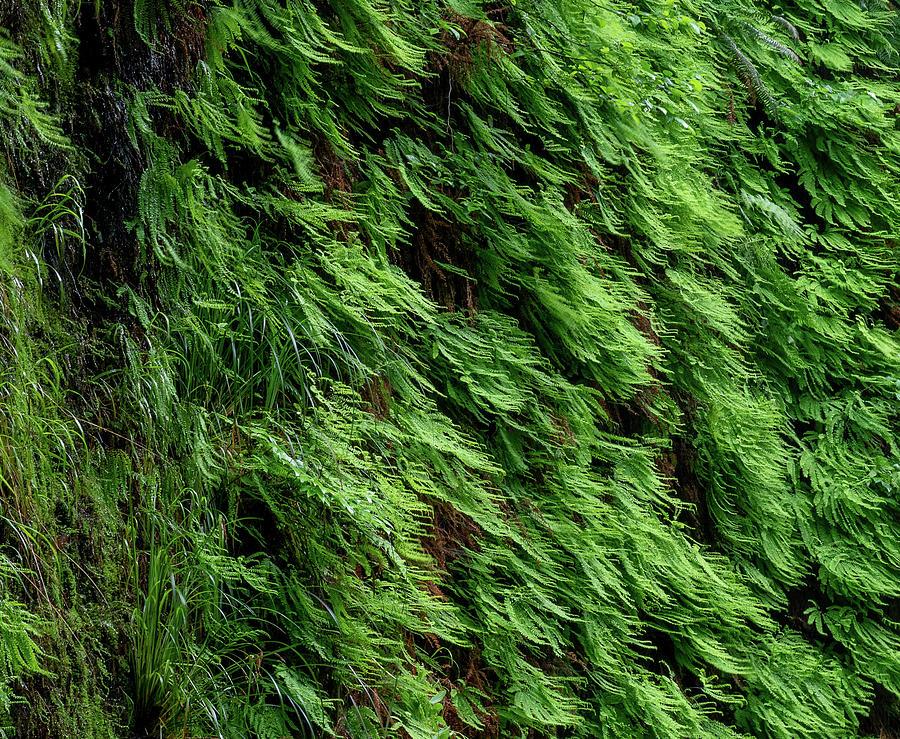 7 Fern Grove, Redwoods N. California by Phyllis Spoor