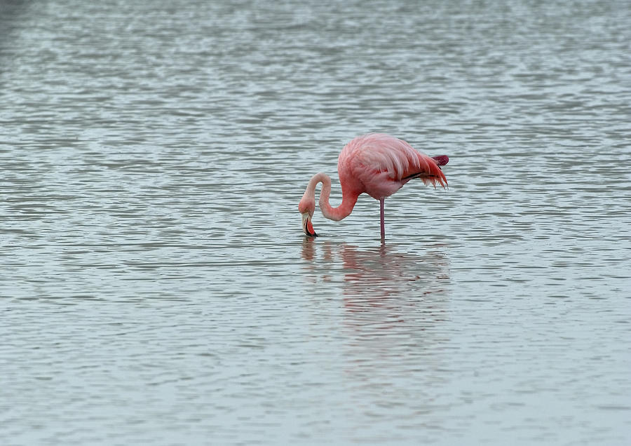 Greater Flamingo by MICHAEL LUSTBADER