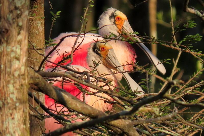 Roseate Spoonbills by Betty Berard